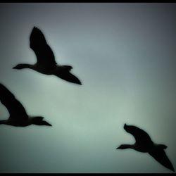 vogels in de vrije vlucht