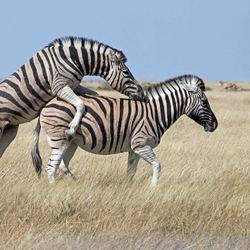 Namibië: Zebras together