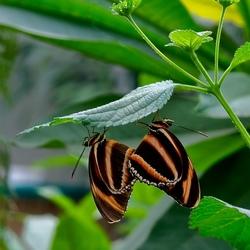 Duo vlinder