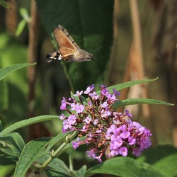 Kolibrievlinder in Duiven (2)