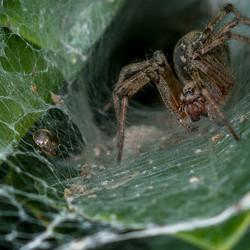 Spin met kokervormig web