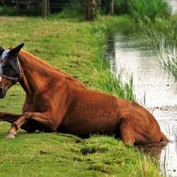 Paard in nood