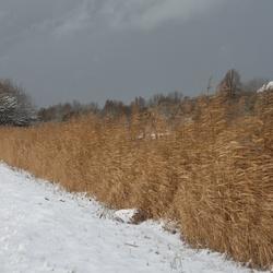 Riet in de sneeuw