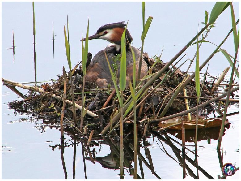 Fuut op nest (behoorlijk gecropt i.v.m. privacy) ... -