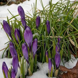 Crocussen in de winter_I