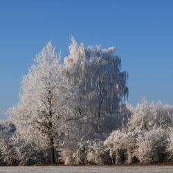 ijswitte bomen
