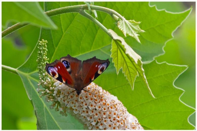 dagpauwoog  - dagpauwoog op de vlinderstruik