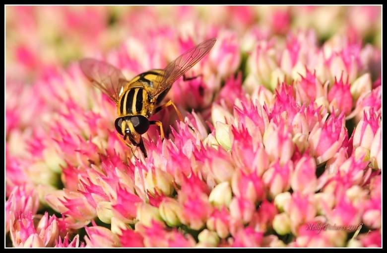 """Zweefvlieg in de bloeiende sedum - Zijn  """"streep-pyama"""" steekt goed af tegen de overdaad aan roze."""