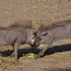 Duel der Wrattenzwijnen
