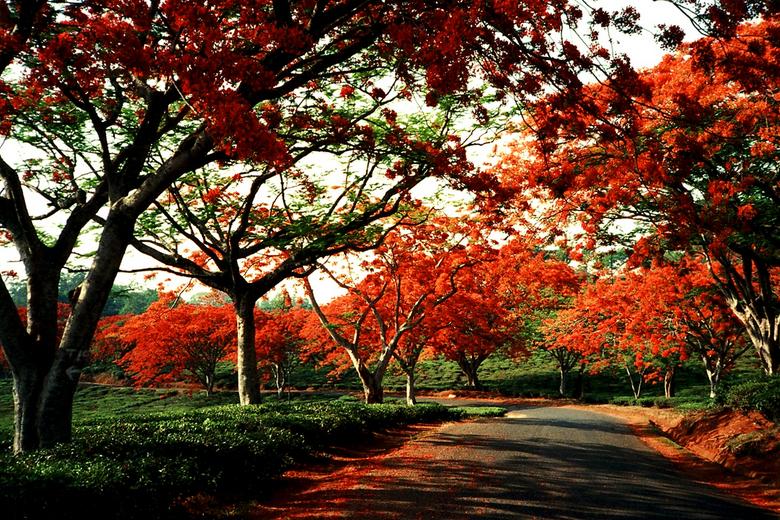Flamboyant - In oktober en november zijn de bomen op hun mooist in Malawi. O.a. jacaranda, whattle en flamboyants bloeien rijkelijk. Vaak is de grond