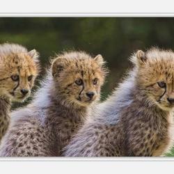 cheeta babes