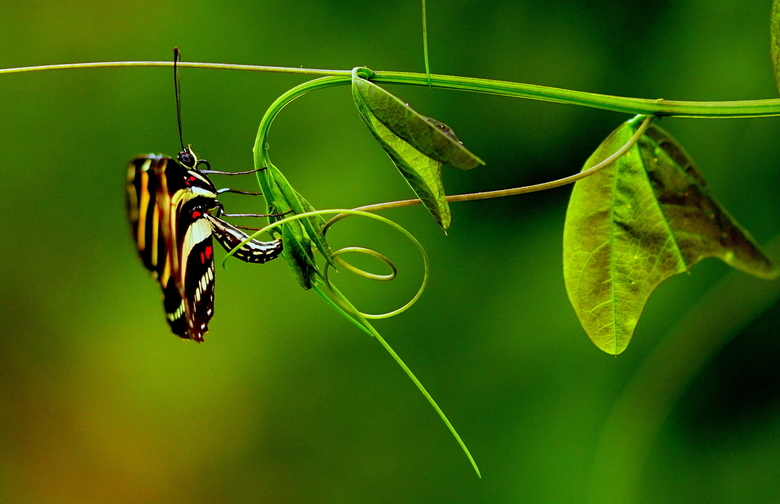Egg laying butterfly Job -