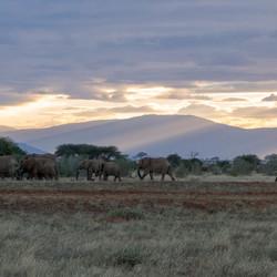 Olifanten in Tsavo