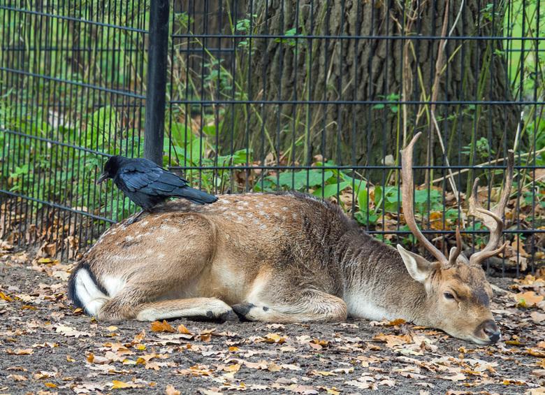 Vreemde bijrijder - In dezelfde hertenkamp als de zwaan zag ik dit tafreel Die kauwtjes zijn brutaal als geen ander. Deze bok vond het goed tot dat de