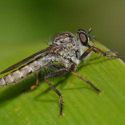 Machimus Atricapilus (Gewone Roofvlieg)