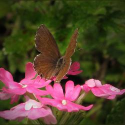 nog een Italiaans vlindertje