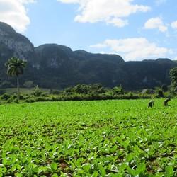 Tabaksvelden in Viñales