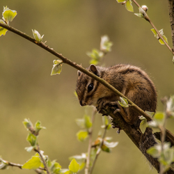België- Grondeekhoorn