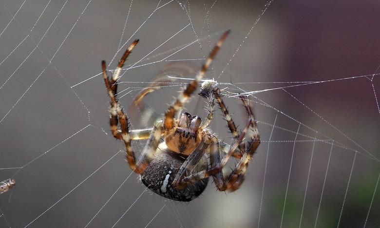 Herfstspin  - Druk bezig met het repareren van het web...