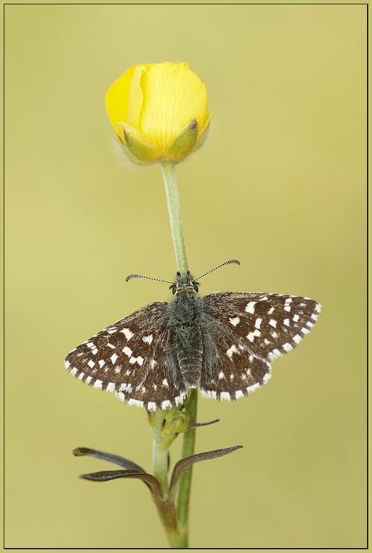 Aardbeivlinder - Met dit weer verlang je toch wel naar het voorjaar. Hier nog eentje van vorig jaar.<br /> <br /> Iedereen een fijne avond gewenst.<