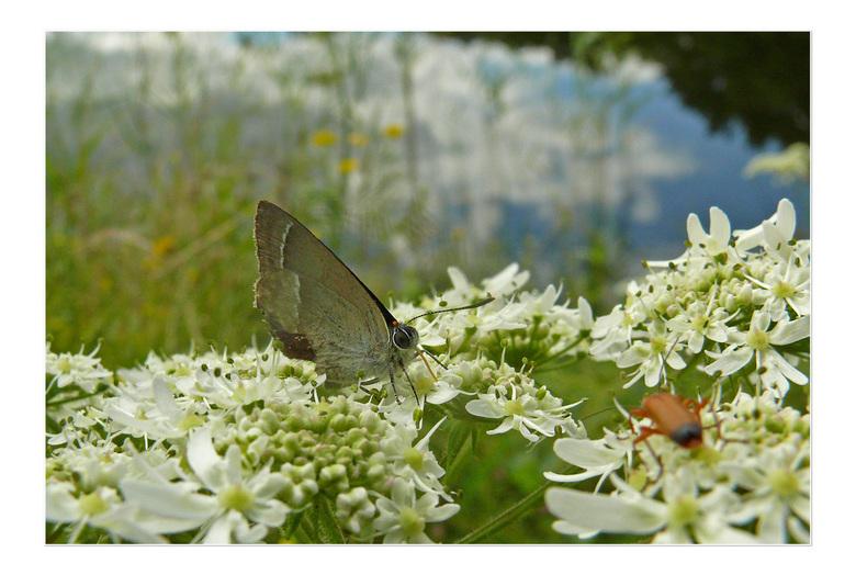 eikenpage - Deze vlinder  zag ik   vanmiddag maar  weet niet welke  het is .  gr Bets
