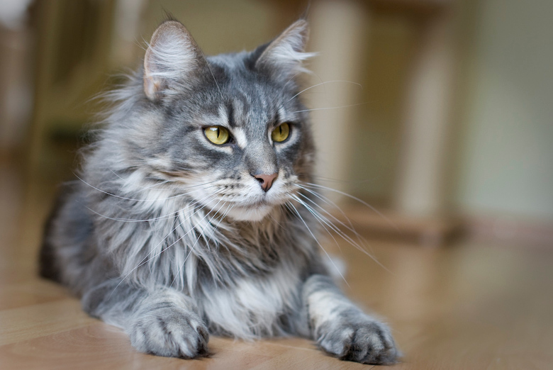 Maine Coon Finley