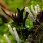 Witte Koraalzwam