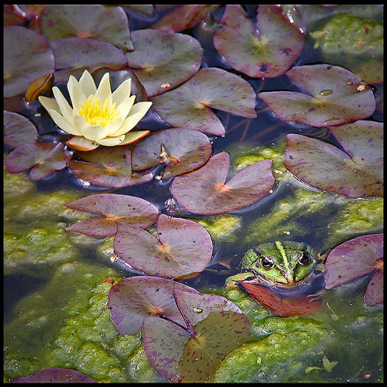"""froggies garden.. - hij lokt haar met een bloemetje <img  src=""""/images/smileys/smile.png""""/><br /> <br /> fijne avond...<br /> <br />  en mijn<br /"""