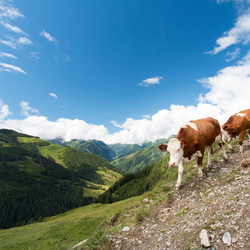 koeien op pad in de Alpen