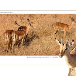 African Impala's