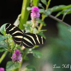 Vlinder in kas Artis.