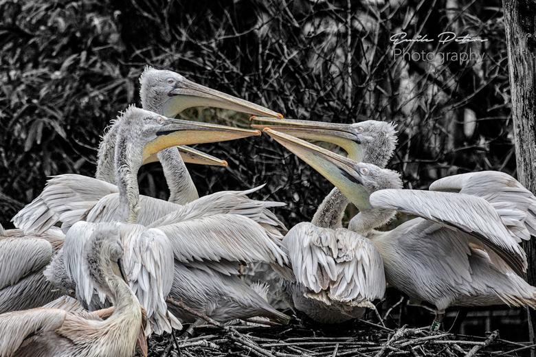 Pelikanen_1