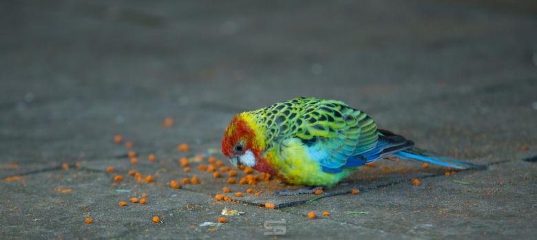 Vogel VI -
