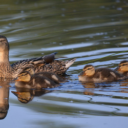 Mama Duck...