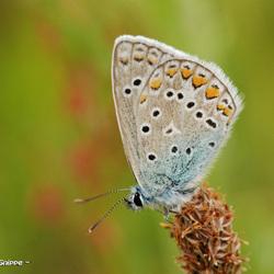 Blauwtje (Lycaenidae)