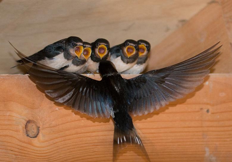 De dirigent en zijn koor - Deze boerenzwaluwen hadden zaten in een vogelkijkhut in Twente. Ze hadden al een paar dagen het nest verlaten. Wel bleef di