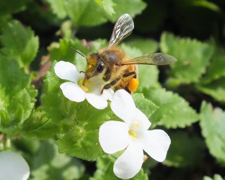 Stuifmeel verzamelen - Zodra het zonnetje doorkwam na deze belabberde zomer, gonsde het in de tuin van de hommels. De witte bloemetjes van de Bacopa w