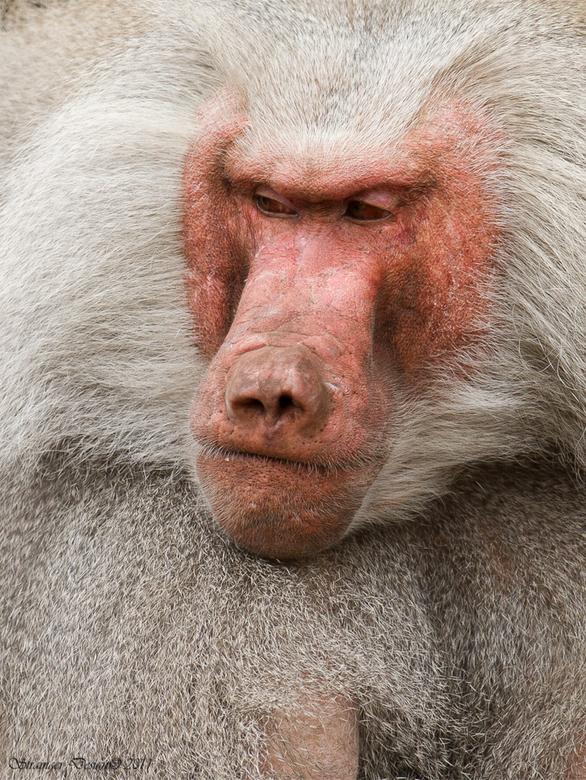 Grumpy Guy - Een nogal moeilijk kijkende baviaan.