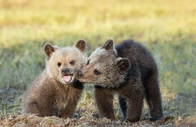Knuffel - Deze twee jonge beren waren zo lief aan het spelen. <br /> <br /> <br /> 500mm 1/250 f/8 iso 1000
