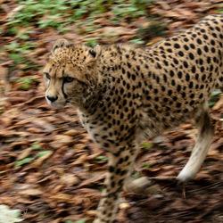 cheetah in herfst