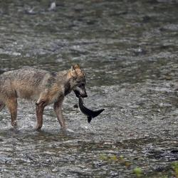 Wolf vangt zalm