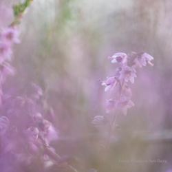 Purple flowering