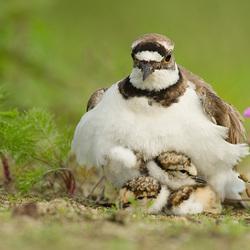 schuilen onder moeders vleugels