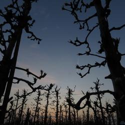 Avondschemering tussen de appelbomen
