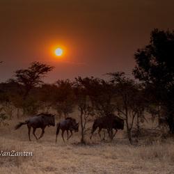 Wildebeests at sunrise