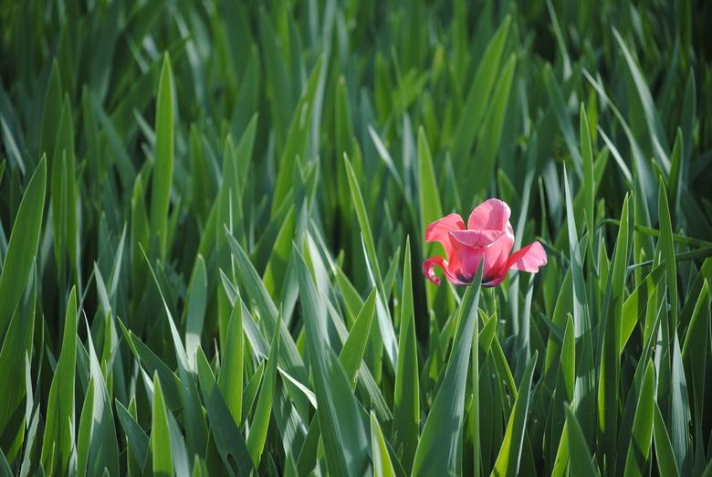 Alleen op de wereld - In een veld vol met groen, steekt één roze bloem er met kop en schouders bovenuit.