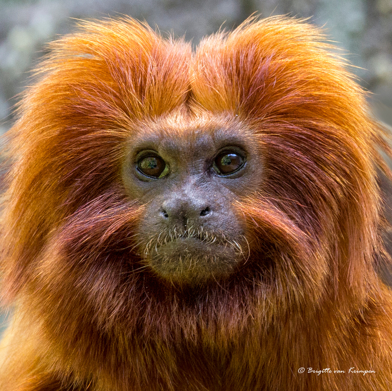 Goldilocks - Gister heerlijk aapjes gekeken samen met Doris, Birgitte en Karin (Dodsi, Birgitte61 en Kariver).<br /> Dit is een goudenleeuwaapje -Leo