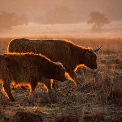 Schotse hooglanders met een gouden randje