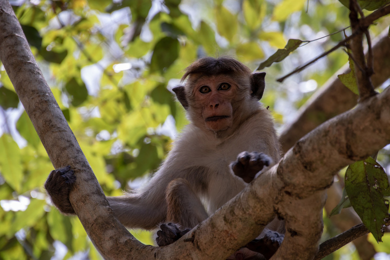 Toque aap - Sri Lanka - Sri Lankaanse Toque aap.
