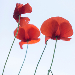 Symbool eerste wereldoorlog